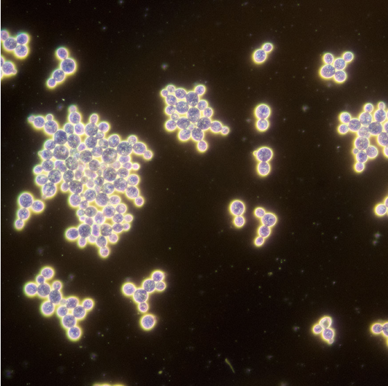 Brewing yeast microscopic view